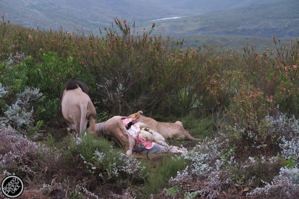 Lion kill at Gondwana