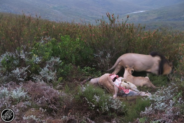 Gondwana lion kill