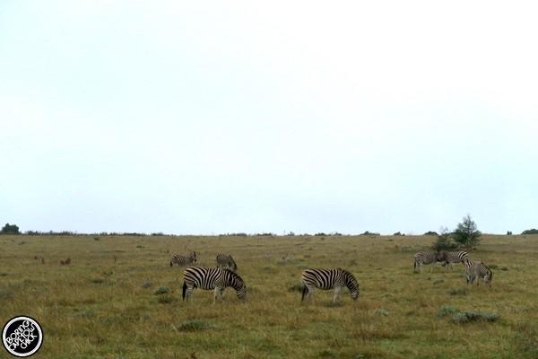 Gondwana Zebras