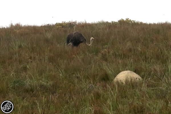 Gondwana ostrich
