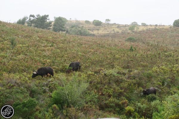 Gondwana buffalo