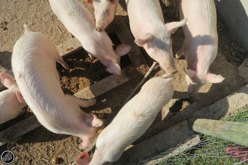 Pigs at Langdam Farm