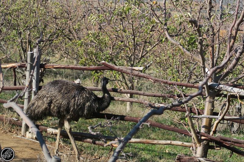 Emus at Langdam