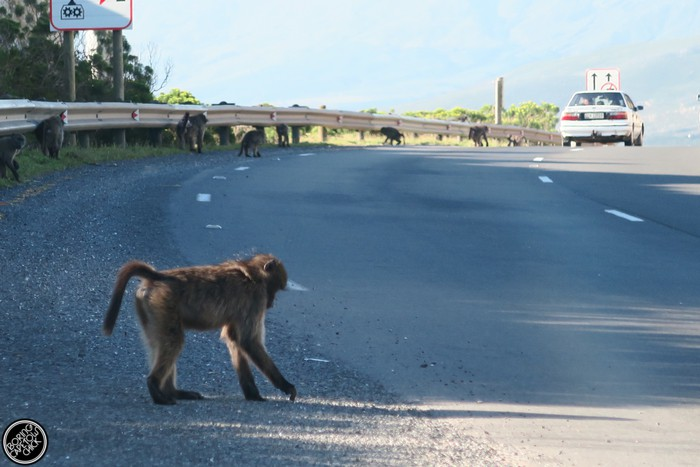 Baboons on Sir Lowries Pass